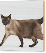 Seal Point Siamese Cat Wood Print