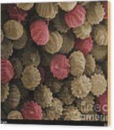 Sem Of Ergot Wood Print by Ted Kinsman