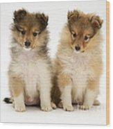Sheltie Puppies Wood Print by Jane Burton