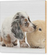 Silver Double Dapple Dachshund Pup Wood Print