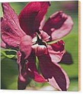 Sinocalycalycanthus Raulstonii Wood Print