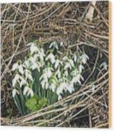 Snowdrop (galanthus Nivalis) Wood Print