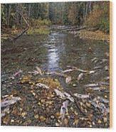 Sockeye Salmon Spawning Wood Print