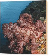 Soft Coral Seascape,  Indonesia Wood Print