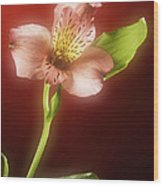 Soft Red Lilly Flower Wood Print