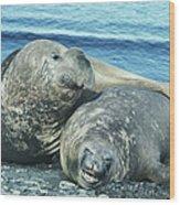 Southern Elephant Seals Wood Print
