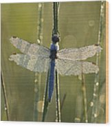Southern Skimmer Orthetrum Brunneum Wood Print