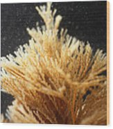 Spiral-tufted Bryozoan Wood Print