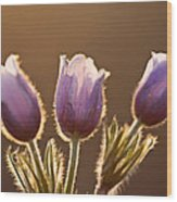 Spring Time Crocus Flower Wood Print