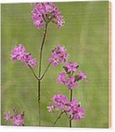 Sticky Catchfly (lychnis Viscaria) Wood Print