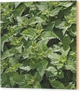 Stinging Nettle (urtica Dioica) Wood Print
