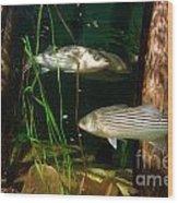 Striped Bass In Aquarium Tank On Cape Cod Wood Print