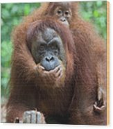 Sumatran Orangutan Pongo Abelii Mother Wood Print