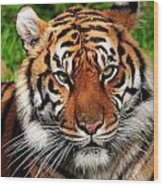 Sumatran Tiger Portrait Wood Print