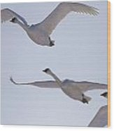 Swans Flying In Formation, Yukon Wood Print