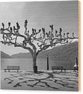 sycamore trees in Ascona - Ticino Wood Print