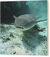 Tawny Nurse Shark Nebrius Ferrugineus Wood Print