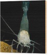 Texas Cave Shrimp Wood Print