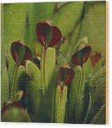 The Rare Carnivorous Sun Pitcher Plant Wood Print