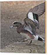 American Wigeon Waterfowl Wood Print
