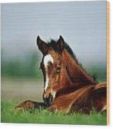 Thoroughbred Foal, Ireland Wood Print