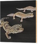 Three Female Leopard Geckos Eublepharis Wood Print