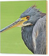 Tricolor Heron Portrait Wood Print