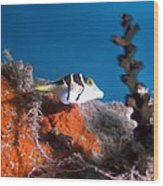 Valentini's Sharpnose Puffer Wood Print by Georgette Douwma