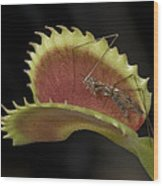 Venus Flytraps As They Consume Insects Wood Print by Joel Sartore
