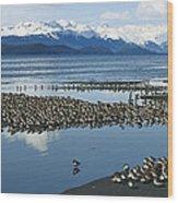 Western Sandpiper Calidris Mauri Flock Wood Print