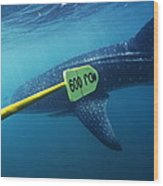 Whale Shark Being Tagged Wood Print