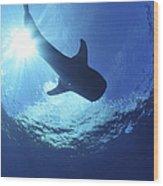 Whale Shark Near Surface With Sun Rays Wood Print