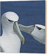 White-capped Albatross Thalassarche Wood Print