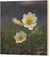 White Dryas Wood Print