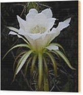 White Echinopsis Flower  Wood Print
