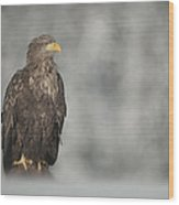 White-tailed Eagle Wood Print