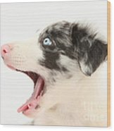 Yawning Border Collie Pup Wood Print