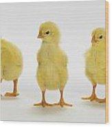 Yellow Chicks. Baby Chickens Wood Print