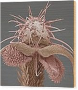 Yellow Dung Fly's Foot, Sem Wood Print