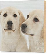 Yellow Labrador Retriever Pups Wood Print