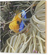 Yellowtail Anemonefish In Its Anemone Wood Print by Alexis Rosenfeld