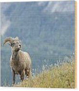 Young Bighorn Sheep, Windy Point Wood Print