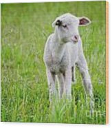 Young Sheep Wood Print