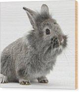 Young Silver Lionhead Rabbit Wood Print