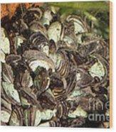 Zebra Mussels Dreissena Polymorpha Wood Print