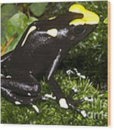 Dyeing Poison Frog Wood Print