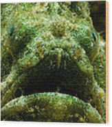 Frogfish Wood Print