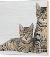 Tabby Kittens Wood Print
