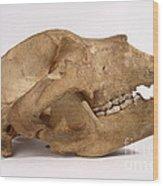 Kodiak Bear Skull Wood Print