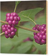 1109-6879 American Beautyberry Or French Mulberry Wood Print by Randy Forrester